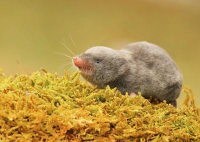 Short-tail-shrew-Robert-Miesner
