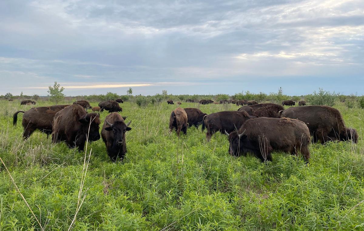 early morning bison_3.jpg
