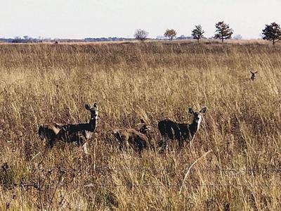 Deer at Kankakee Sands