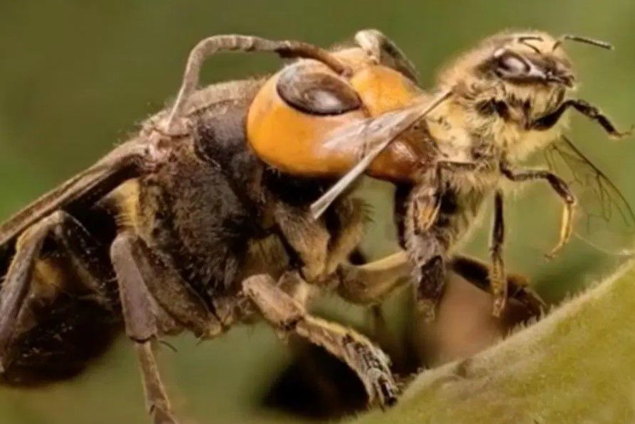 'Murder' hornets comes from Asia