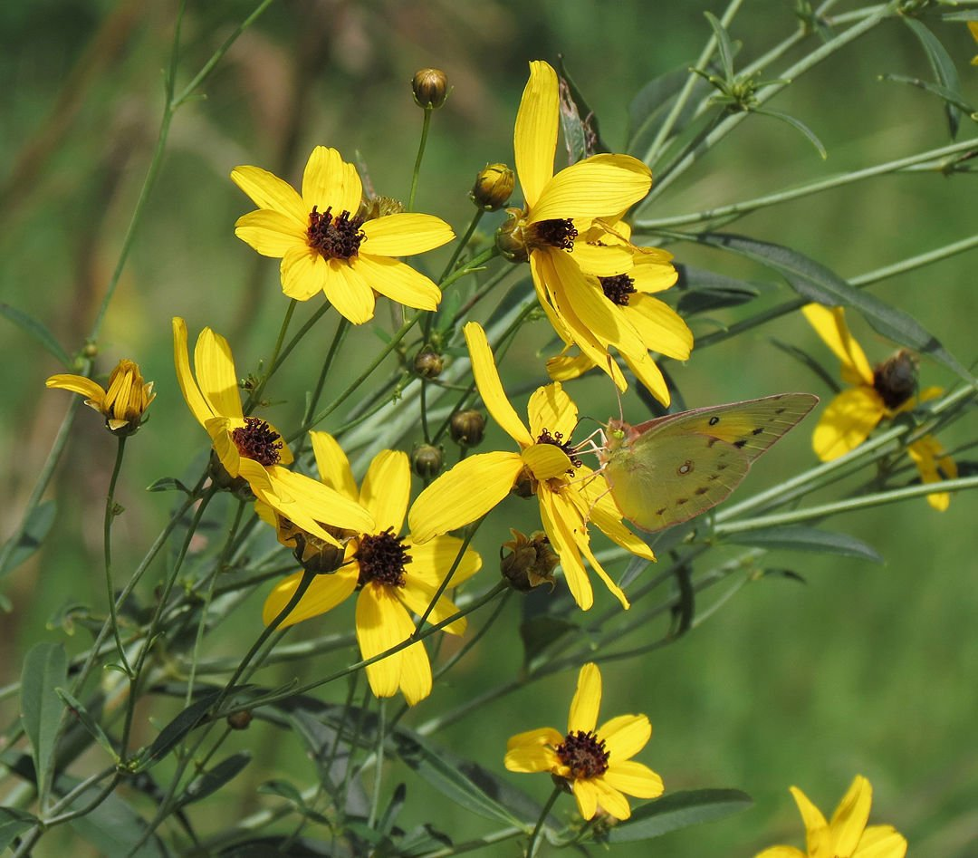 Outdoors The Dancing Butter Of September Kankankee Valley Post