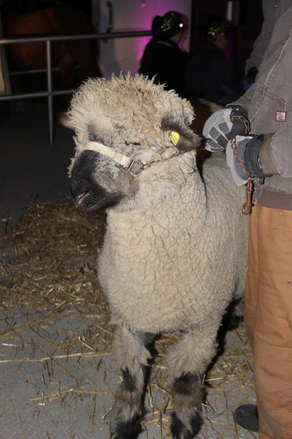 nativity sheep.jpg