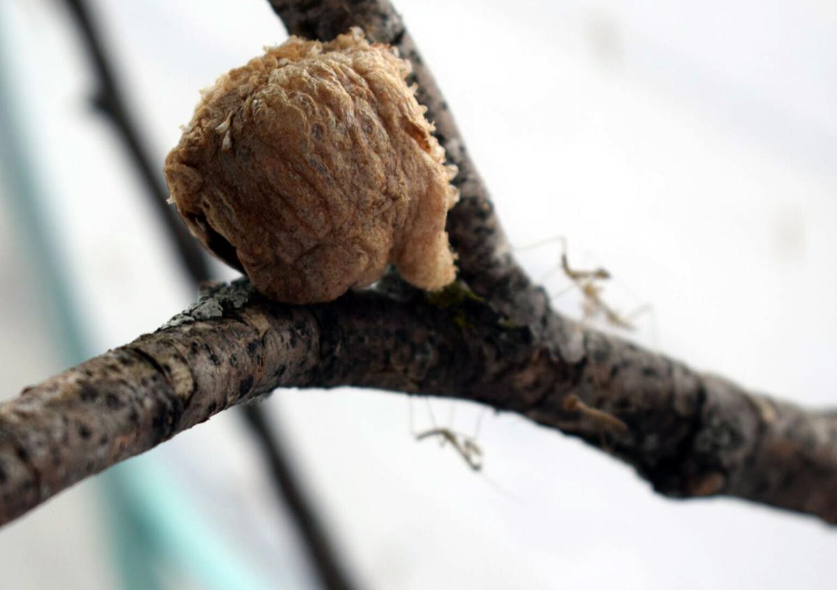 Mantis nest