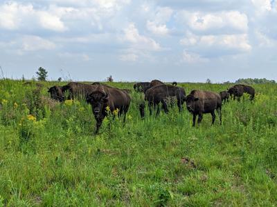 Kankakee Valley Sands bison
