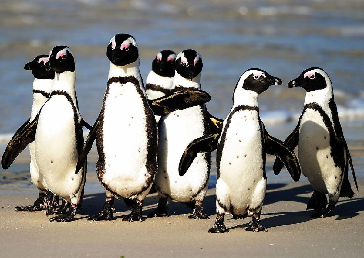 African penguins coming to Lafayette