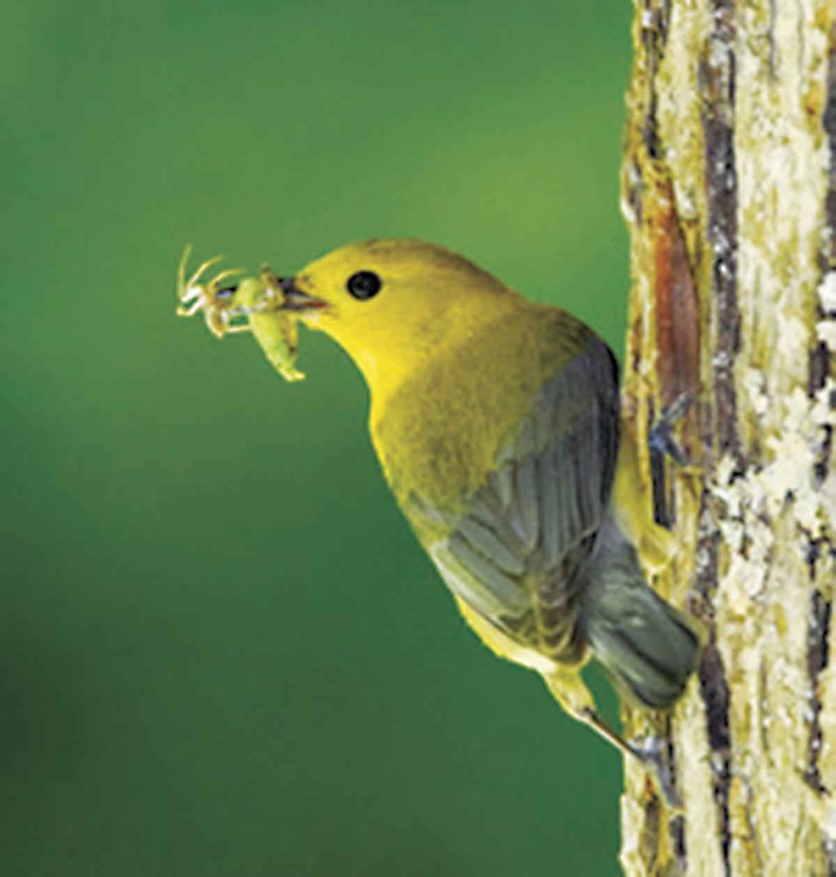 Prothonotary-Warbler.jpeg