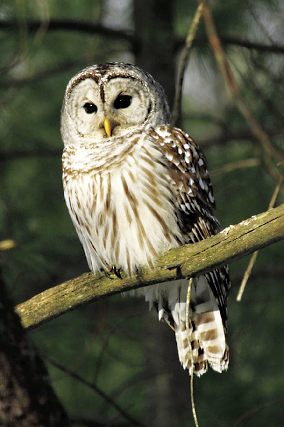 Barred Owl.jpeg
