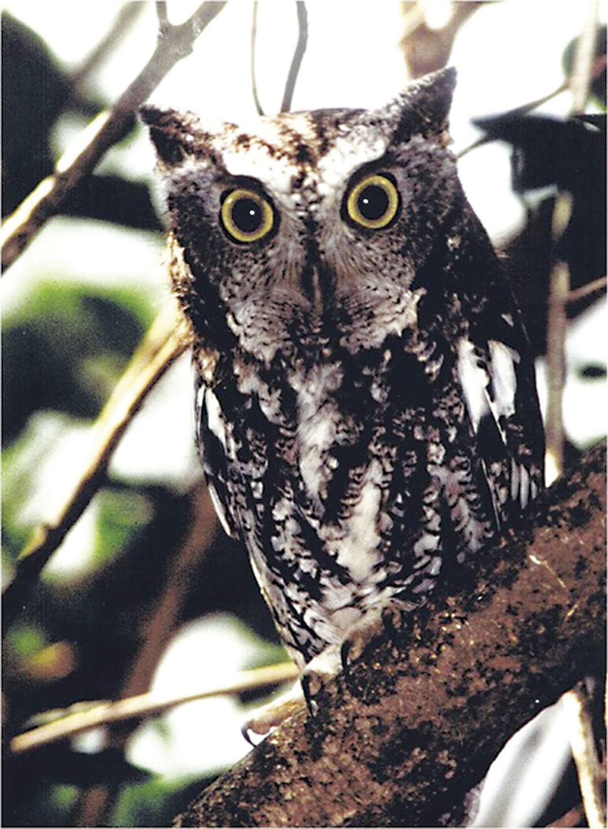Eastern Screech Owl.jpeg