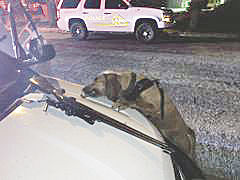 Sheriff's Bloodhound Dare assisted Yucaipa deputies & tracked a suspect wanted in a stabbing incident; one in custody