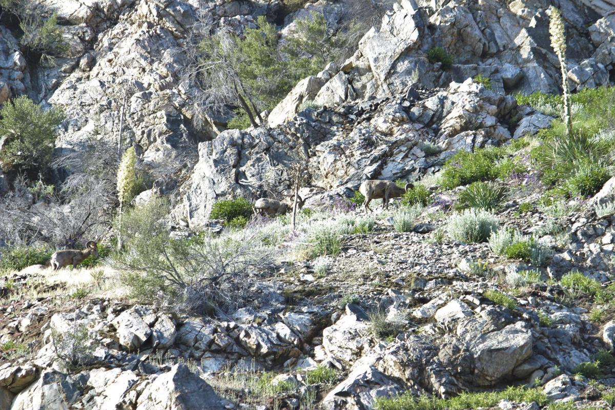 Desert biohorn sheep