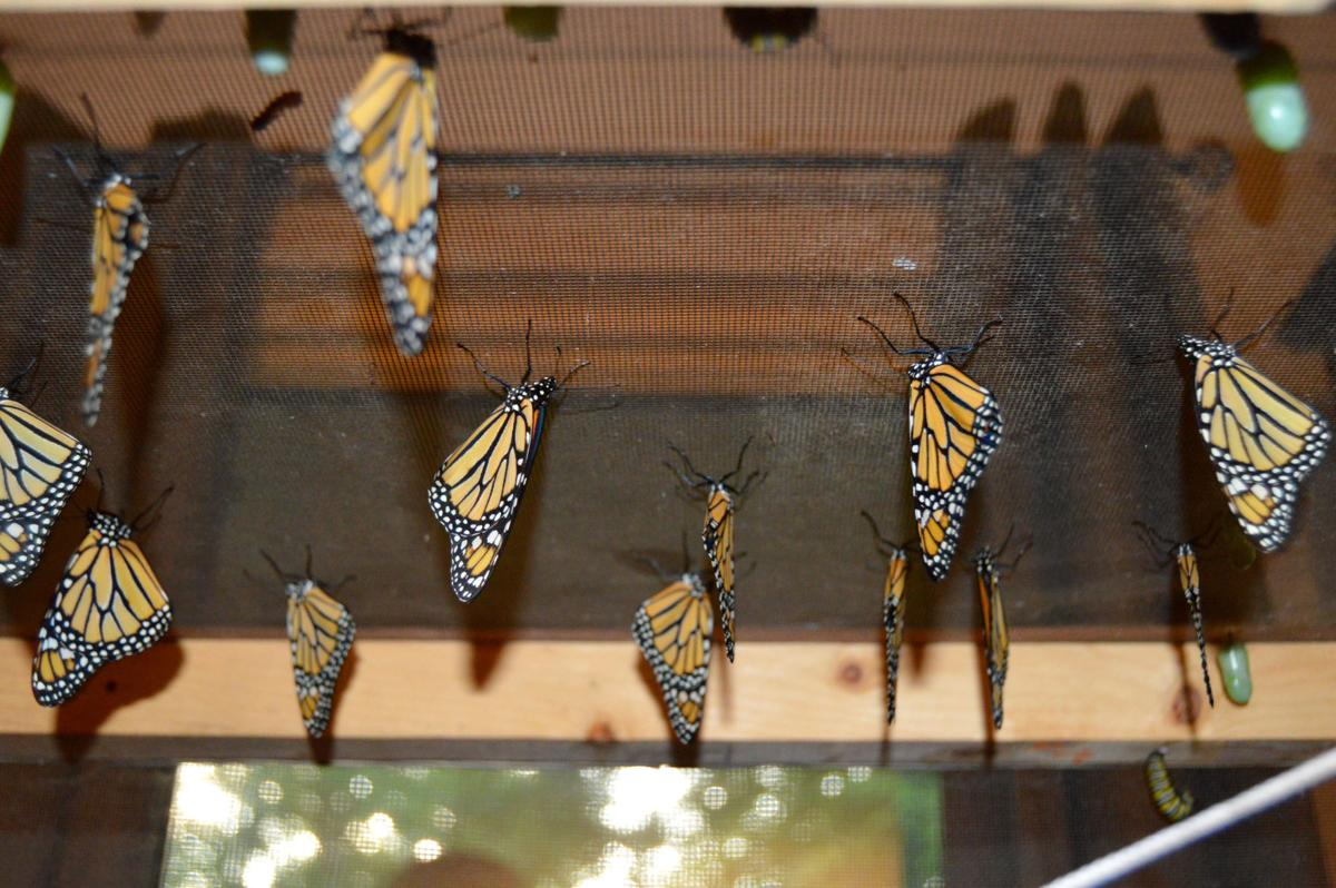 Monarchs waiting for release