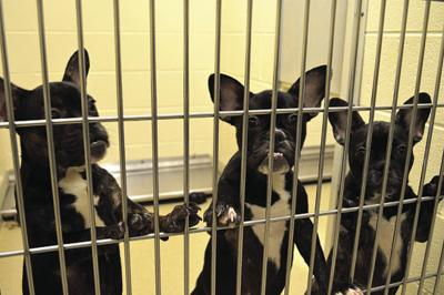 Animal Services announces adoption process for seized dogs