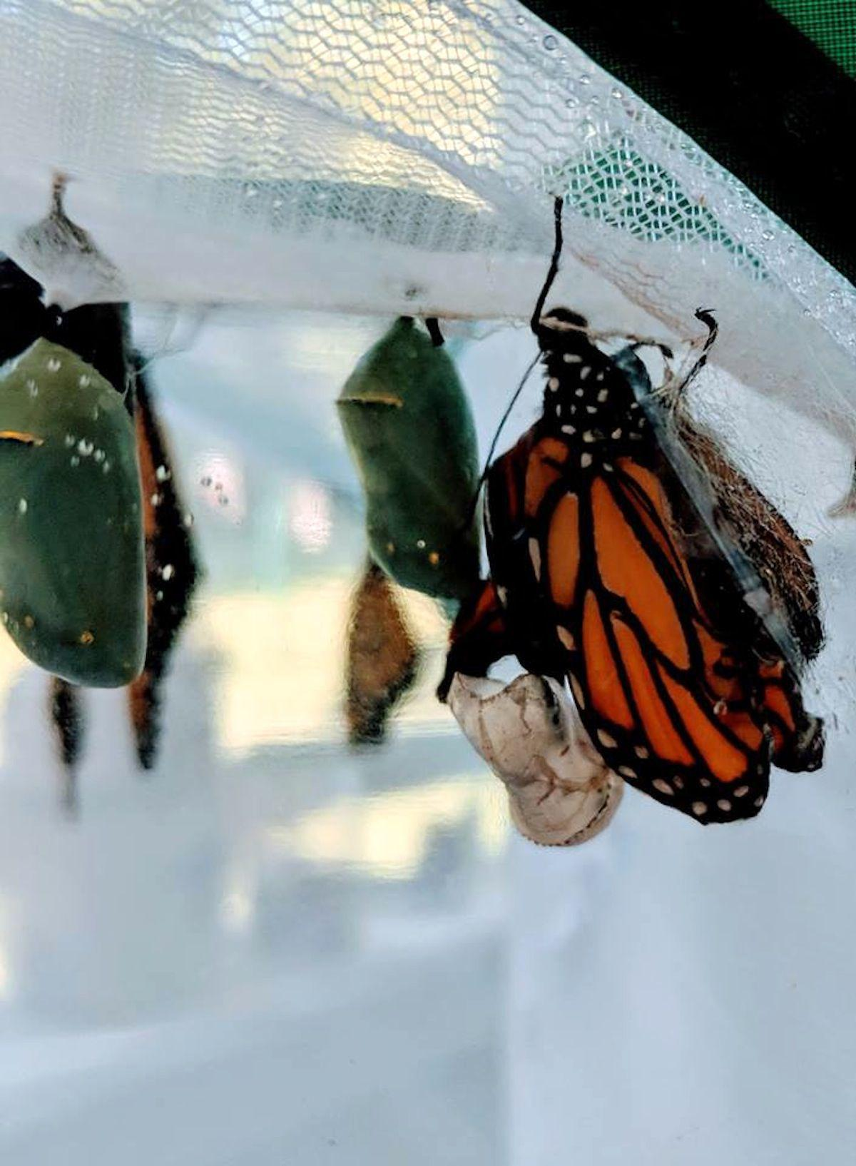 Pike County working to preserve and protect monarchs and milkweed