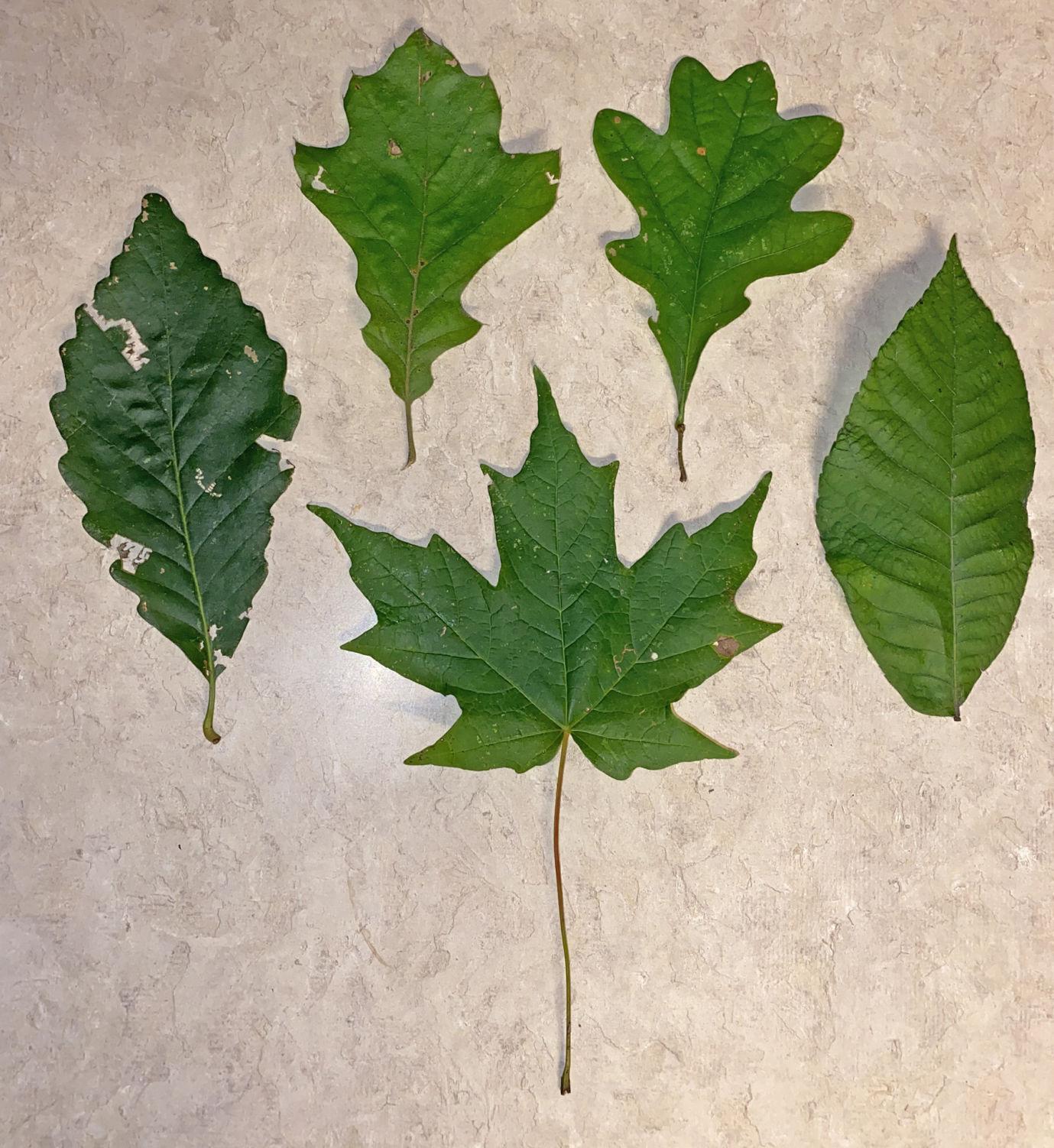 NN17 - Oak, maple and hickory leaves