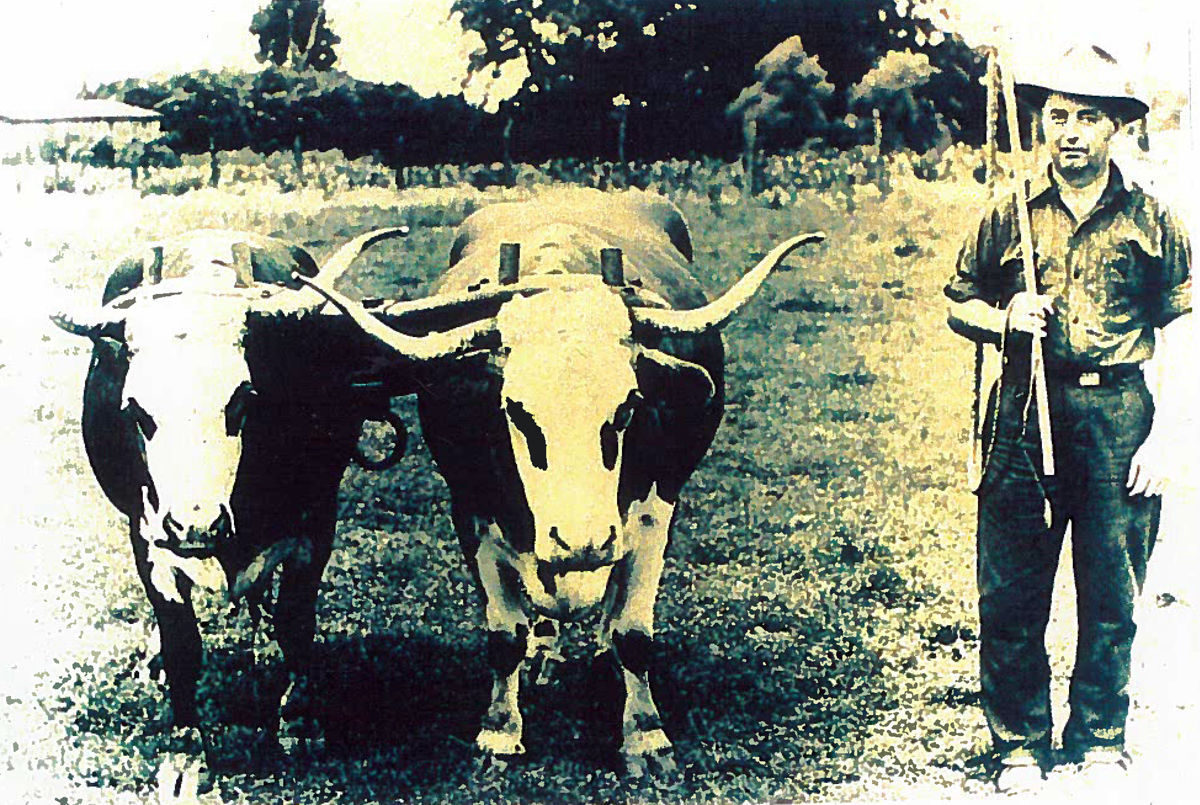Mack Robinson and oxen