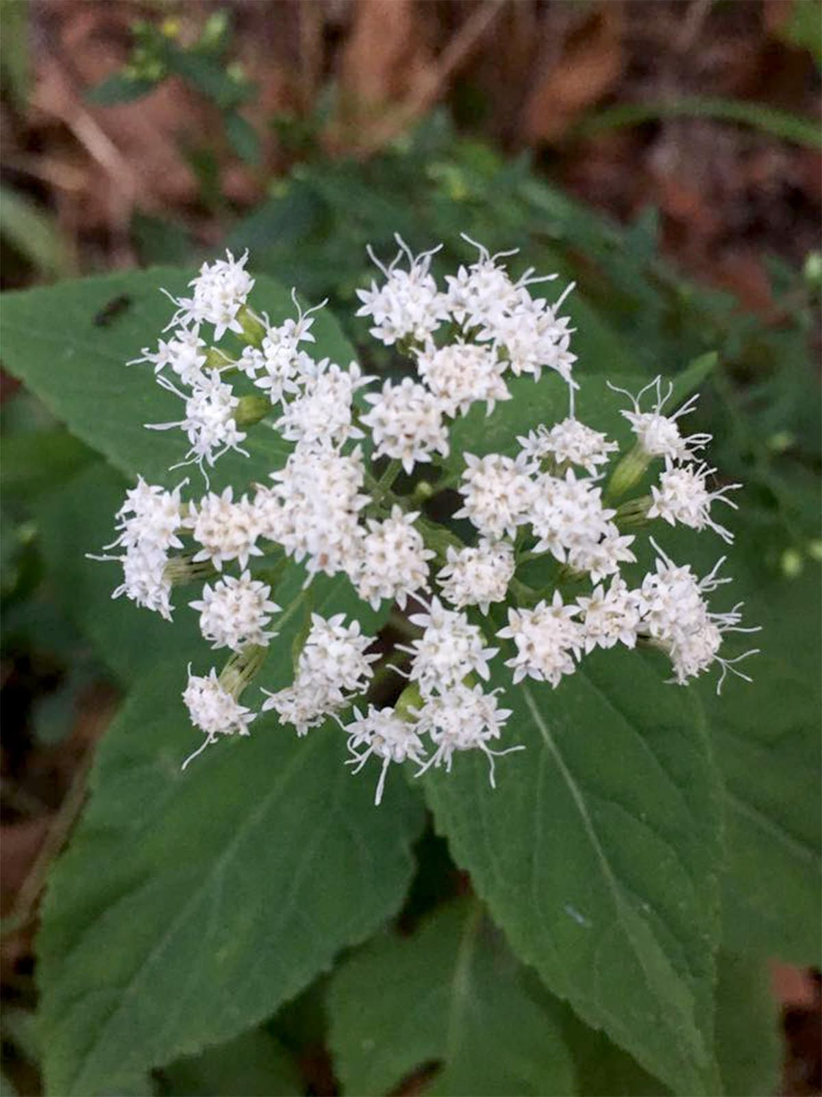 Dying Over Spilled Milk White Snakeroot S Role In Milk Sickness Rural Rendezvous Newswatchman Com