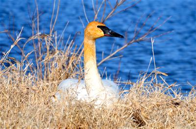 Trumpeter Swan - ODNR