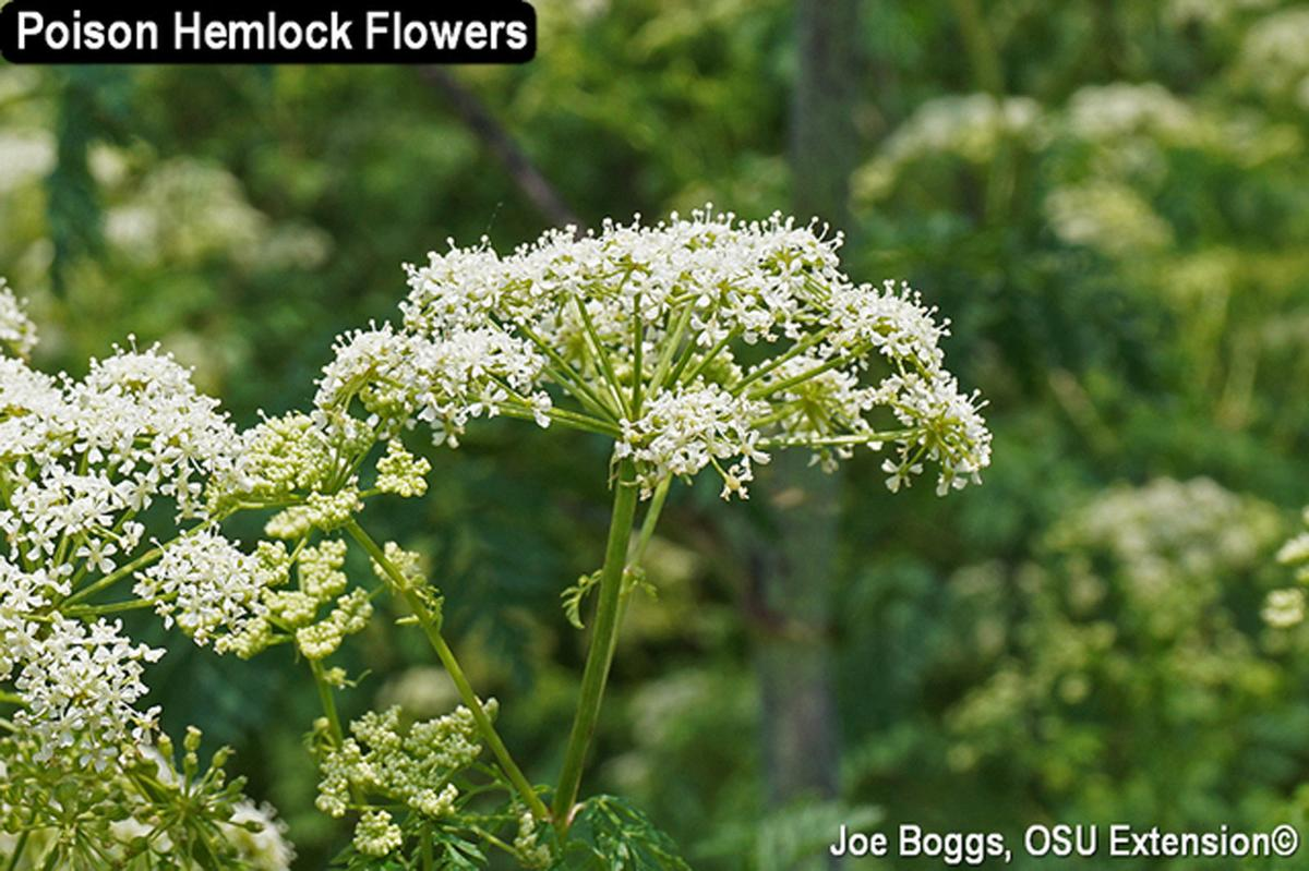 Poison Hemlock Flowers