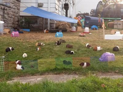 Guineapig rescue effortscurrying for proper papers