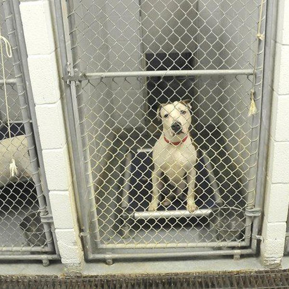 As SPCA of Niagara deals with surplus of pit bulls