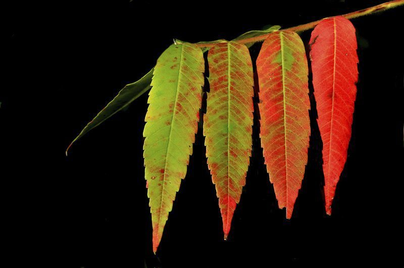 DOMEDION: What causes that fall color change?