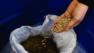 Name that grain: New Cornell malting barley supports NY brewers