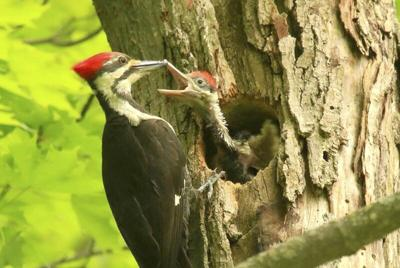 THE GREAT OUtDOORS: A rare privilege: Hosting pileated woodpeckers