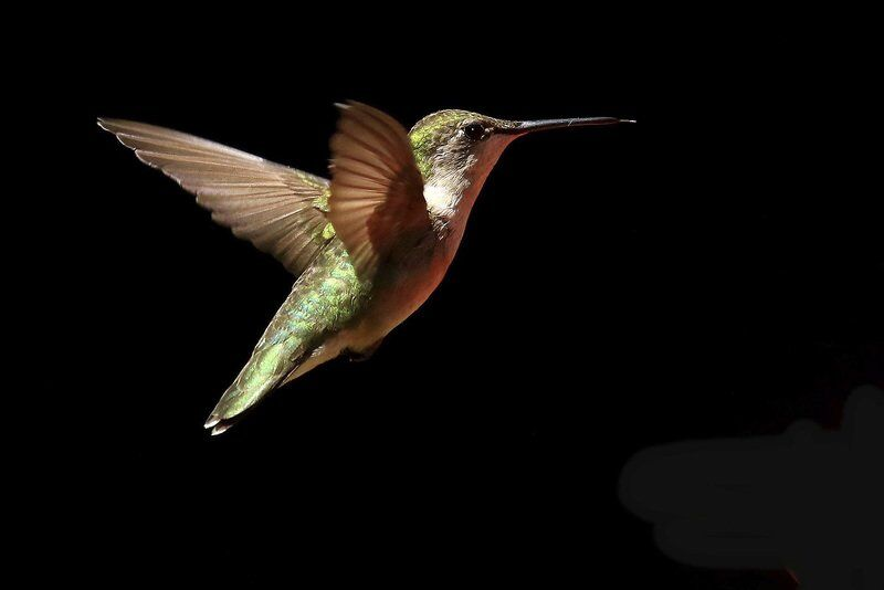 THE GREAT OUTDOORS: Now is the time to woo hummingbirds