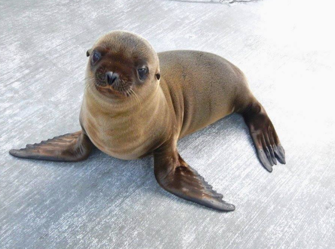 Aquarium of niagara to have sea lion pup on display june 17 5k run isabel the sea lion publicscrutiny Images