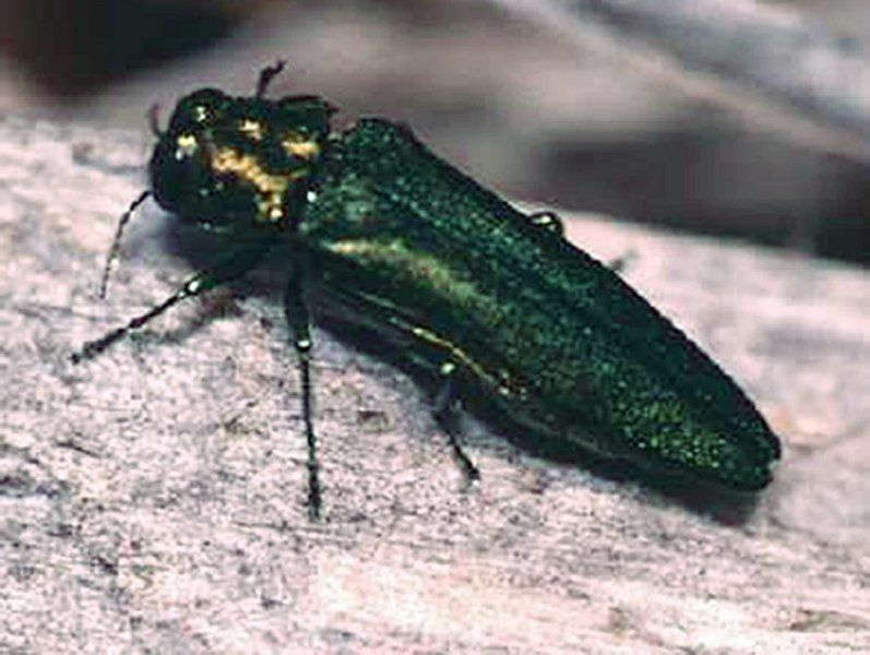 In fight against emerald ash borer, researchers look to seeds