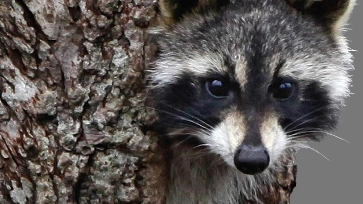 Raccoon that fought with dogs in Niagara Falls tests ... Raccoon With Rabies