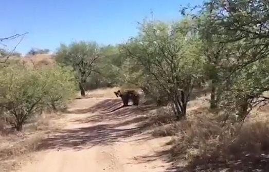 Bear seen in Rio Rico not yet considered a danger to residents