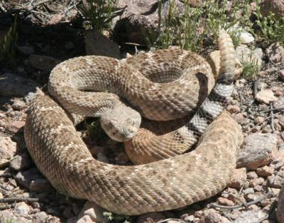 good conditions for rattlesnakes but runins with people