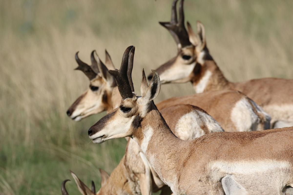 Antelope  Letter