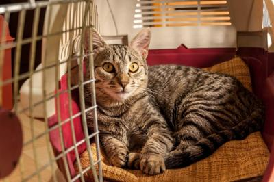 Have Cat, Will Travel!  Top Tips for Hotel Stays with Fluffy (image)