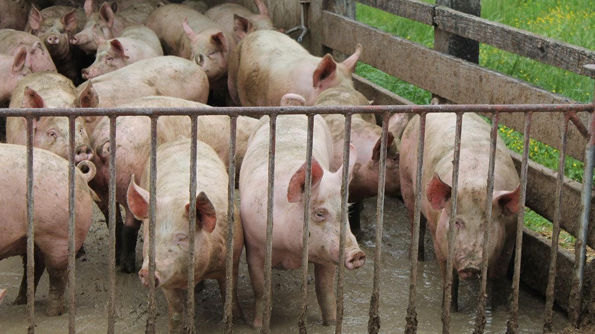 Hog Markets