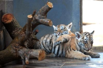 Omaha Zoo Plans To Open Tiger Breeding Facility And Bank At Safari Park