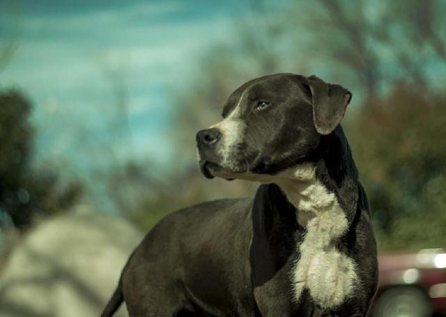 major dog rescue labrador pit bull mix