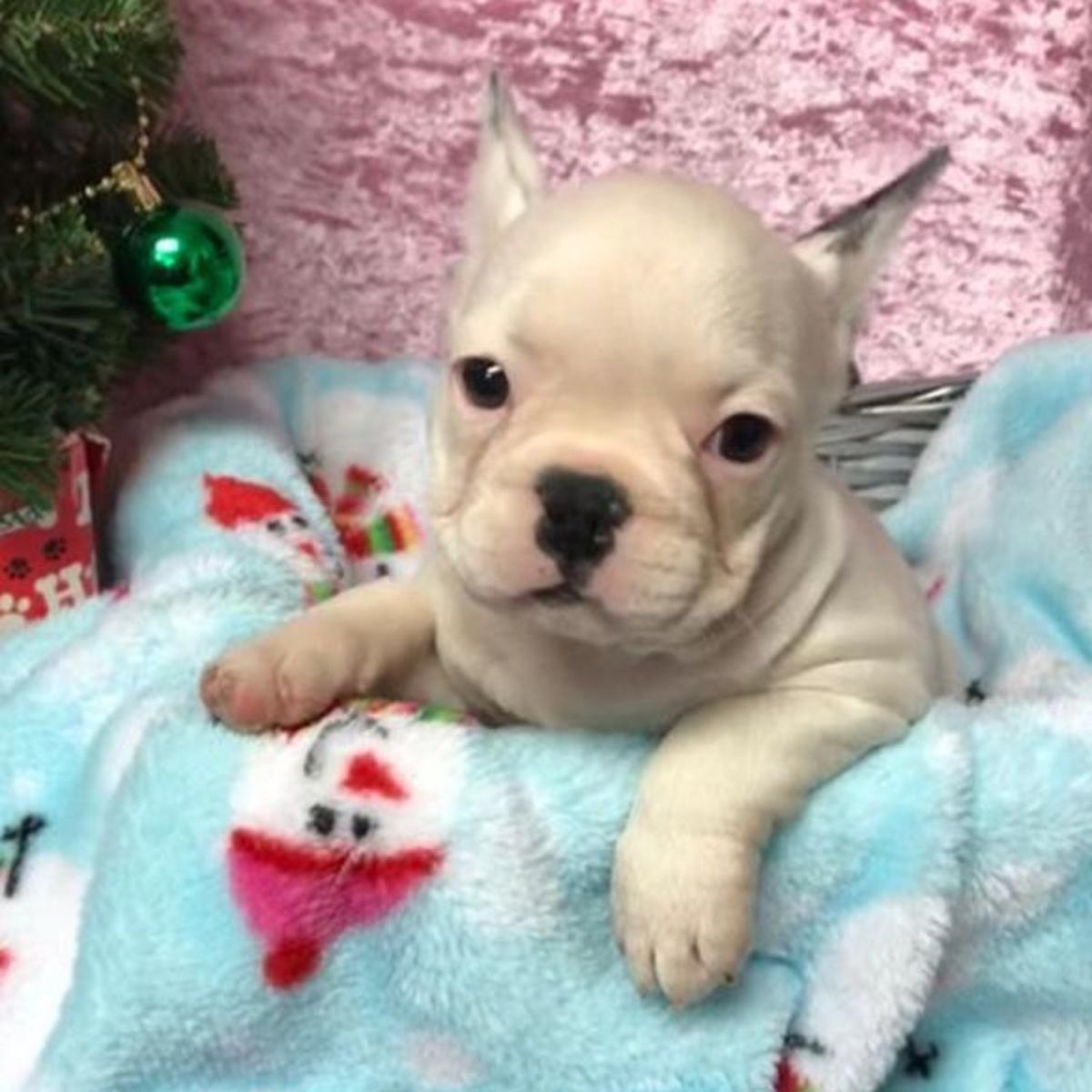 3 Stolen French Bulldog Puppies