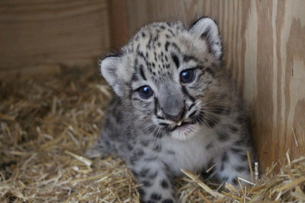 Snow Leopards Wallpaper Baby Animals Wallpapers In Jpg