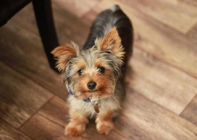 jazzy dog saving human life yorkshire terrier mix