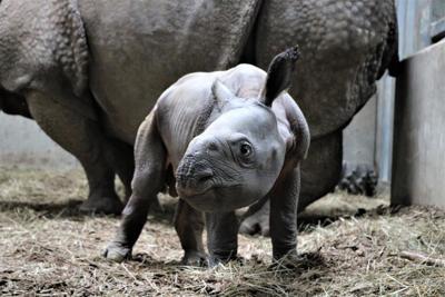 Omaha zoo announces birth of endangered Indian Rhino calf