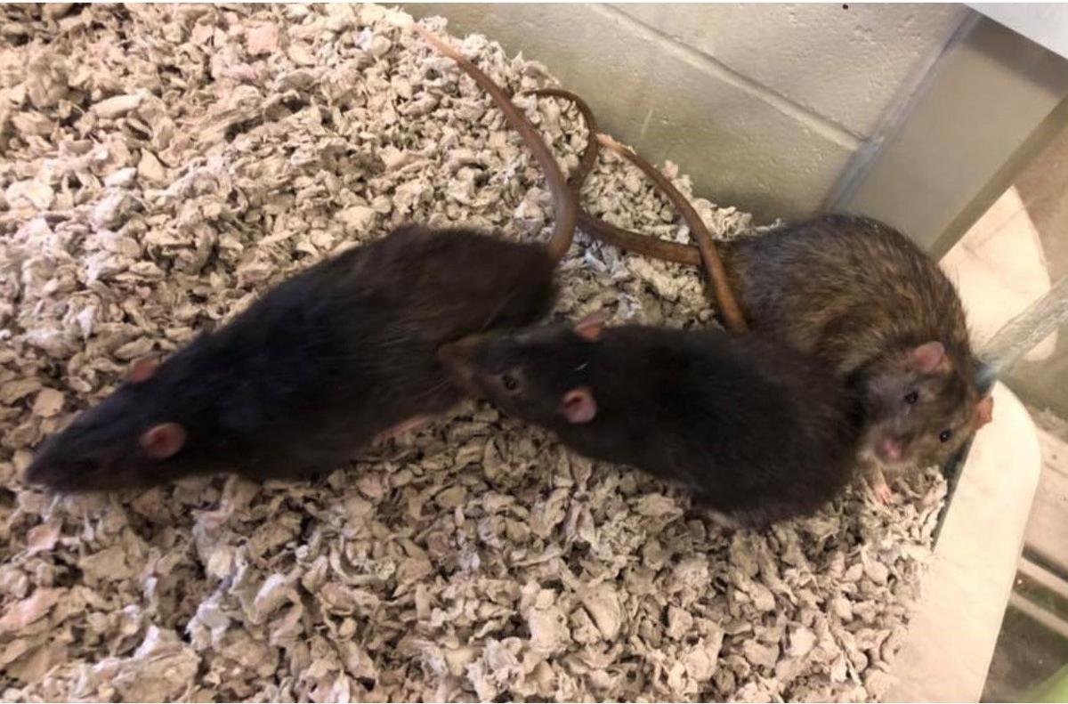 MHS Rats