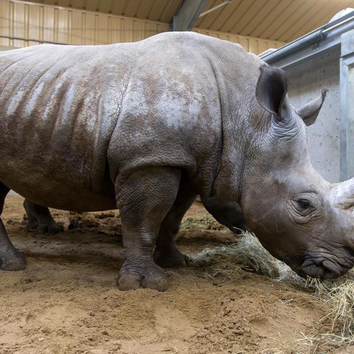 21-year-old female white rhino euthanized at Omaha zoo