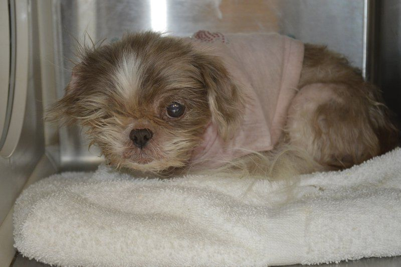 Alleged Puppy Mill Seizure Results In Free Adoptions Of Most Animals At Norman Shelter Community Normantranscript Com