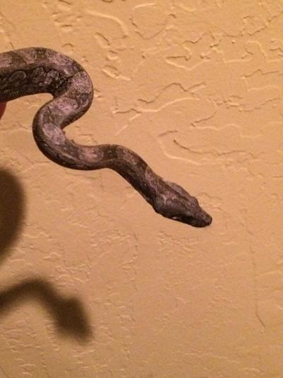 Norman City Council allows boas, pythons and anacondas to stay after subcultural uproar