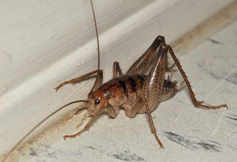Camel crickets and hodgepodge