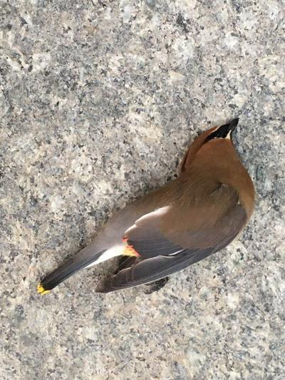 Songbirds sing no more