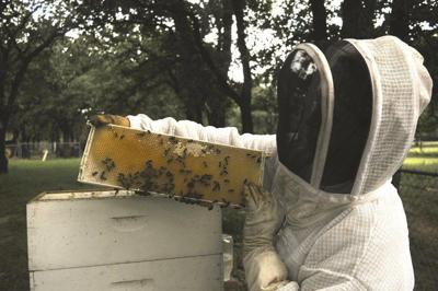 Scissortail Honey takes flight