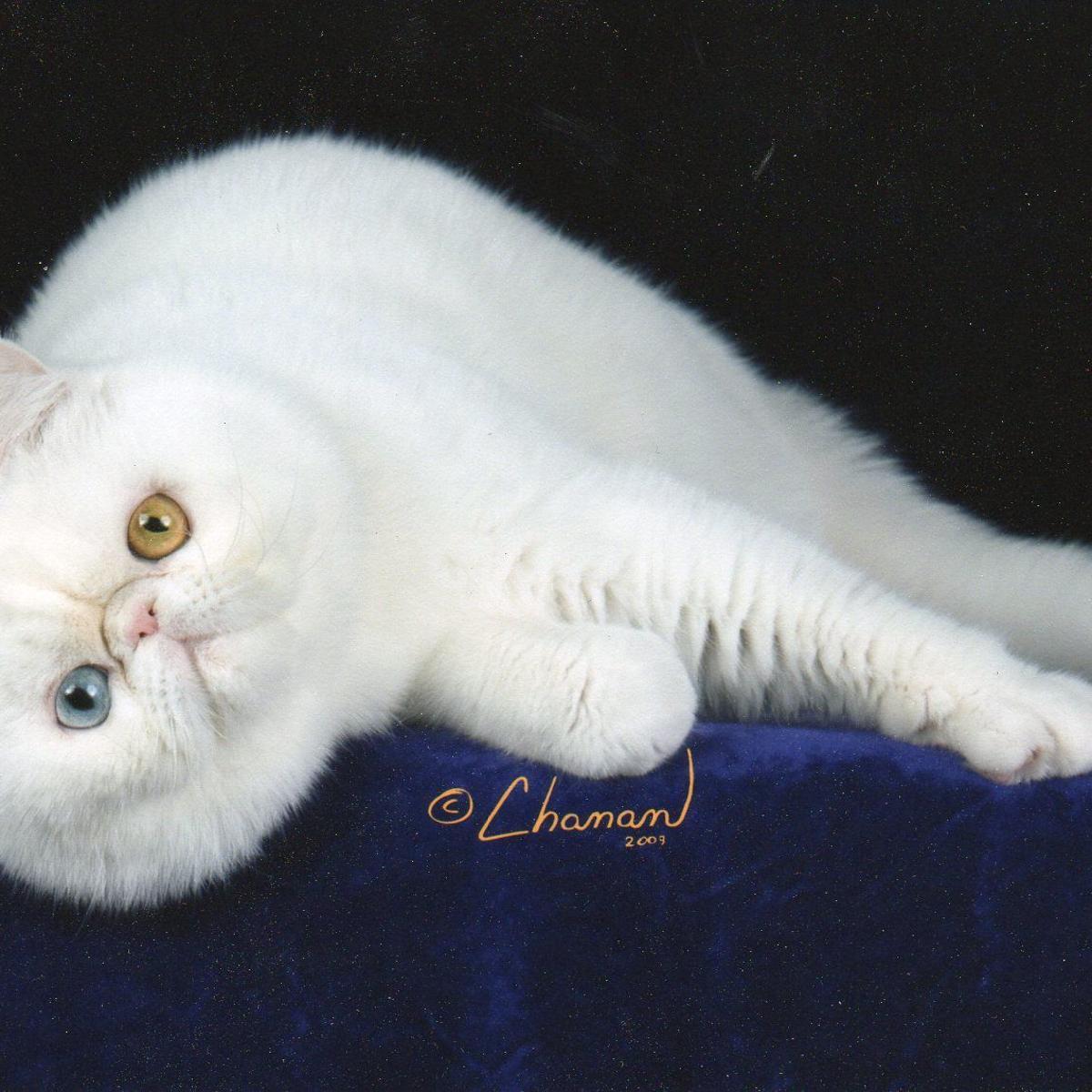 Oklahoma City Cat Club presents Allbreed Cat Show | News